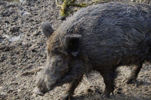wild boar boar portrait