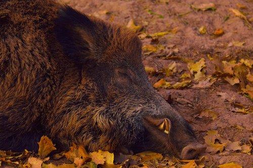 wild boar  head  portrait