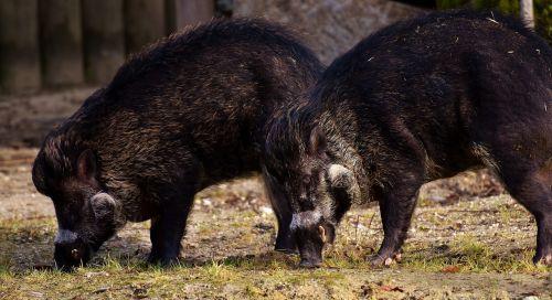 wild boars wild animals pig