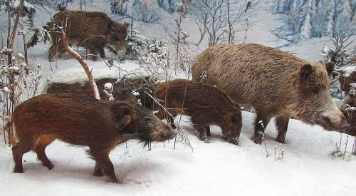 wild boars rotte winter