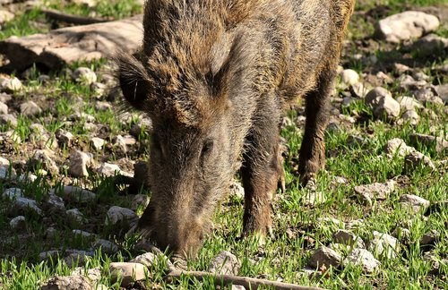wild boars  pigs  nature