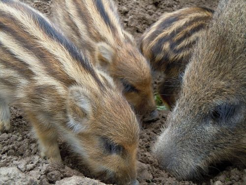 wild boars family foraging