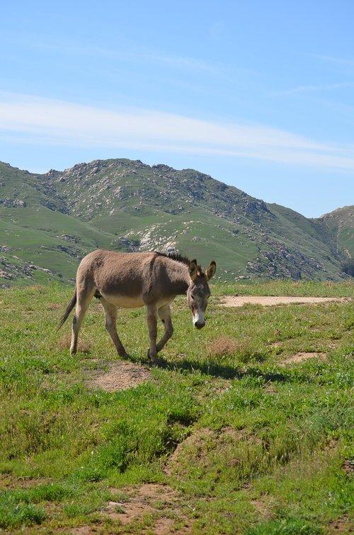 wild burro  grand terrace ca  nature