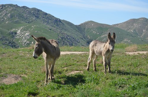 wild burro  california  animal