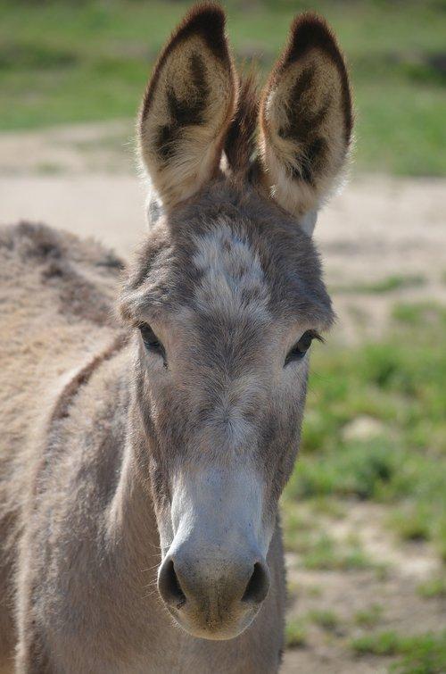 wild burro  animal  mammal