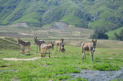 wild burro  herd  mountain