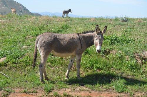 wild burro  grass  animal