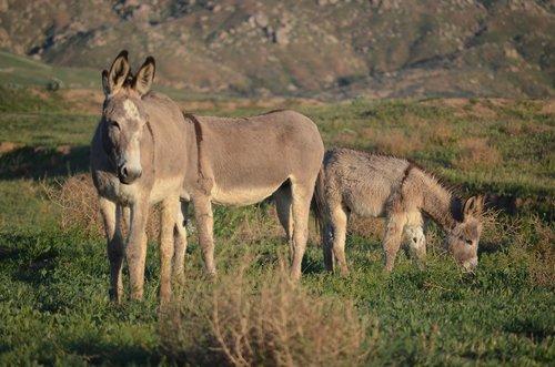 wild burro herd  california burros  mammal