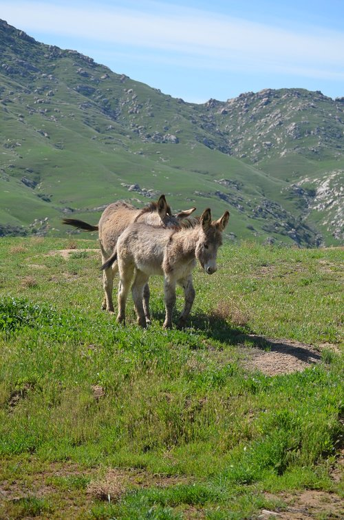 wild burros  california  nature