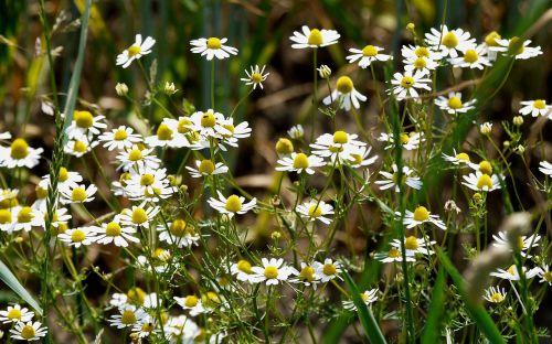 wild camomile cornfield arable