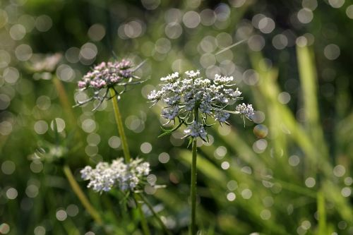 wild carrot flower the delicacy