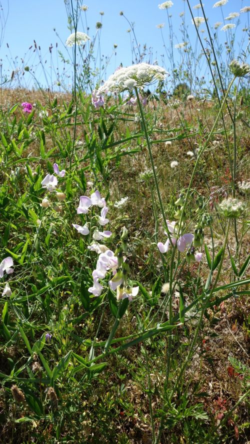 Wild Carrot And Sweet Pea