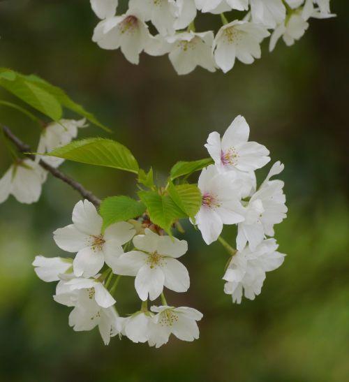 wild cherry cherry blossoms white