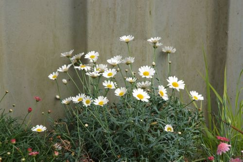 wild daisies dog daisies fence and daisies