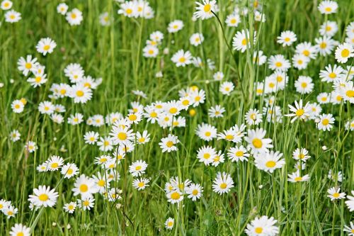 wild daisies daisies meadow