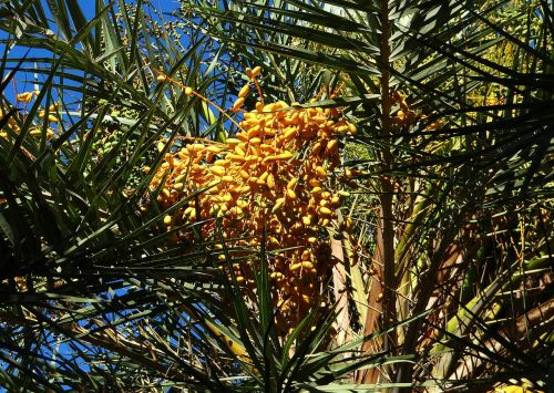 wild date palm phoenix sylvestris toddy palm