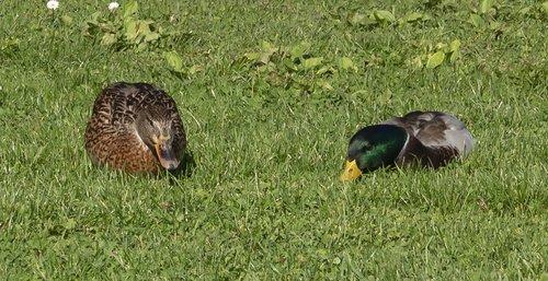 wild ducks  duck  water