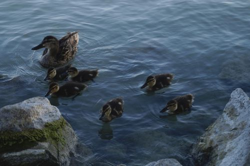 laukiniai antis, šeima, ančiukas, ežeras, ežeras, kranto, Balaton ežeras, gyvūnas, paukštis, vandens paukštis