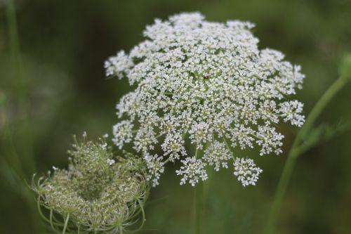 wild fennel wild carrot princess anne's lace