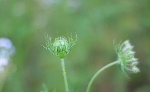 wild fennel wild carrot dream