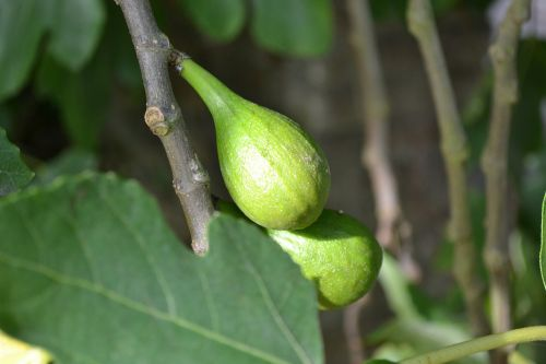 wild fig common fig ficus carica