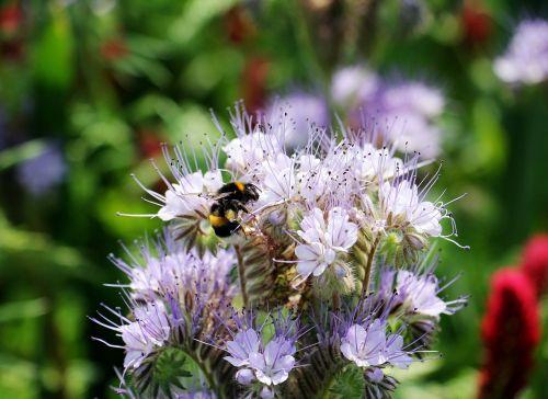 wild flower tansy-phazelie bueschelschoen