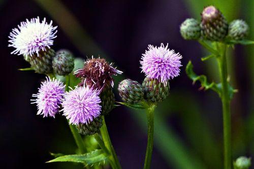 wild flower wild plant thistle