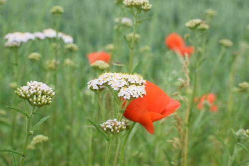 wild flower meadow sharp sheaf klatschmohn