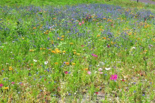 wild flower meadow colorful bloom