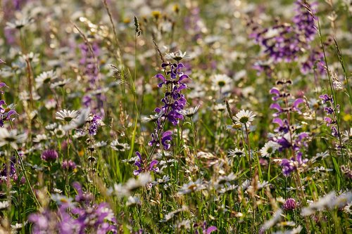 wild flower meadow  flowers  bloom