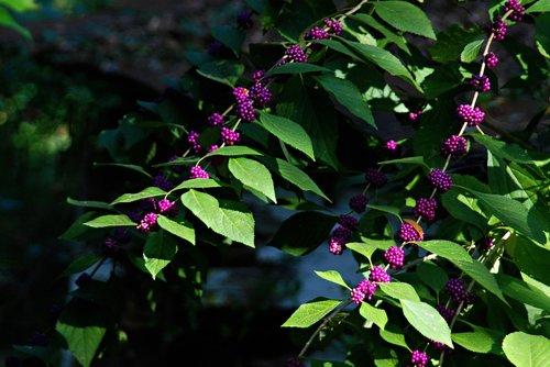 wild flowers  fall flowers  american beauty berry