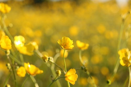 wild flowers yellow fields