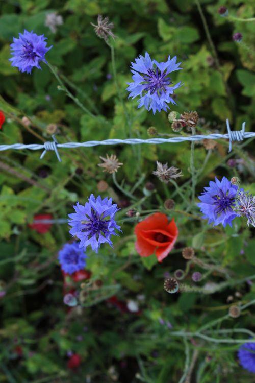 laukiniai, gėlės, raudona, aguona, violetinė, laukinės gėlės raudona aguonos raudona