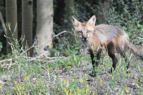 wild fox fox wild