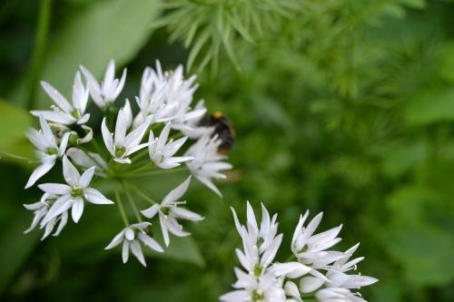 wild garlic white flower herb