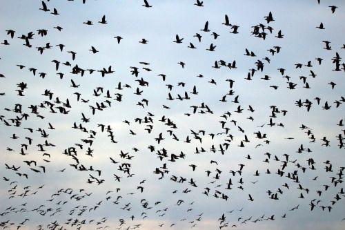 wild geese flock of birds migratory bird