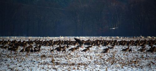 wild geese flock of birds winter