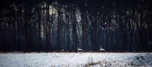 wild geese swans whooper swan
