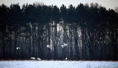 wild geese whooper swan swans