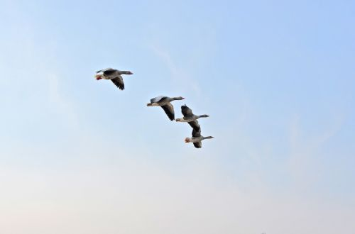 wild geese birds migratory birds