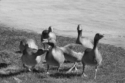 wild geese grey geese poultry