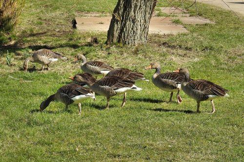 wild geese grey geese geese
