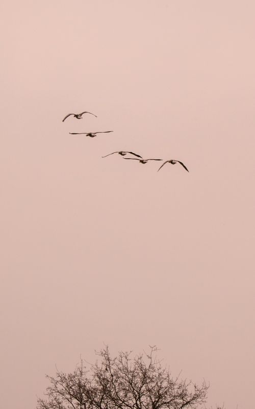 wild geese goose geese