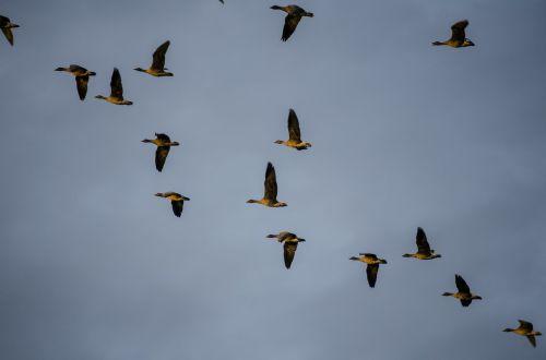 wild geese migratory birds bird migration