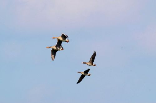 wild geese migratory birds formation
