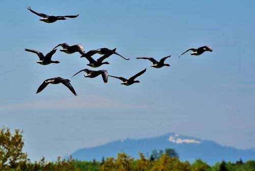 wild geese  grey geese  goose