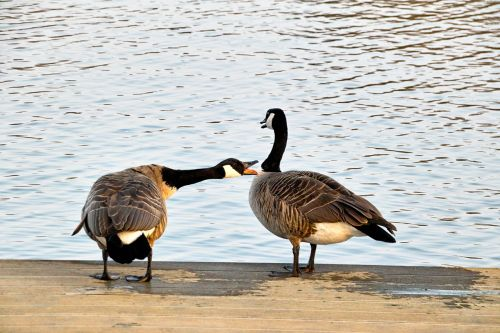 wild geese two chatter