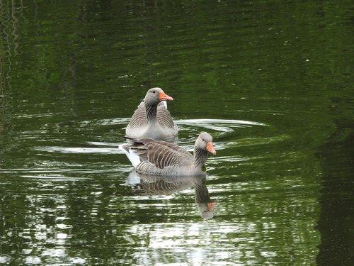 wild goose  goose  water bird