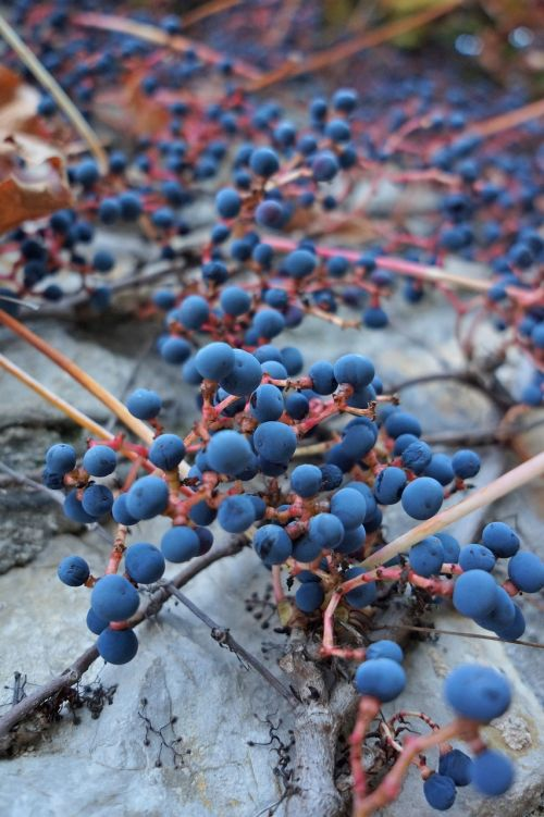 wild grapes handrail plant autumn