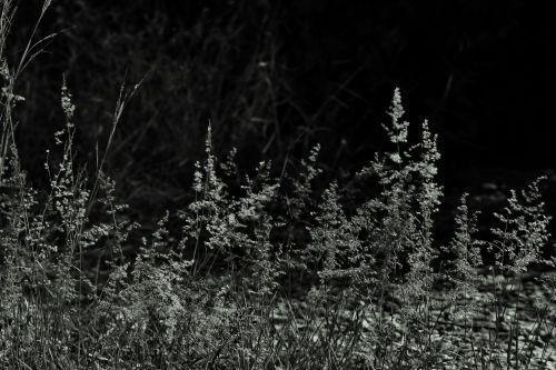 Wild Grass In Black And White